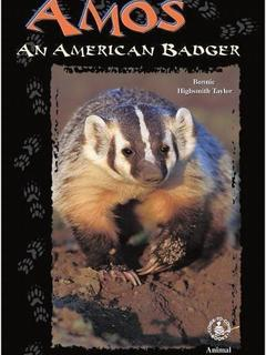 Amos: An American Badger