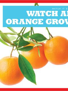 Watch an Orange Grow