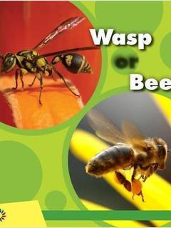 Wasp or Bee