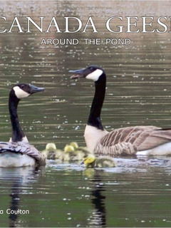 Canada Geese Around the Pond