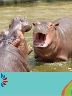 Hippopotamus Calves