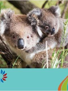 Koala Bear Joeys