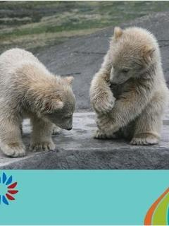 Polar Bear Cubs